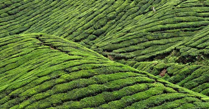 This is a picture of a tea plantation in the Cameron Highlands, Malaysia