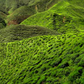 Cameron_Highland_Tea_Plantation_2012_md