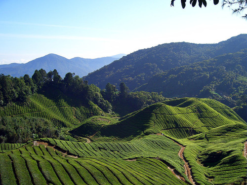 cameron-highland-tea-fields-will-ellis