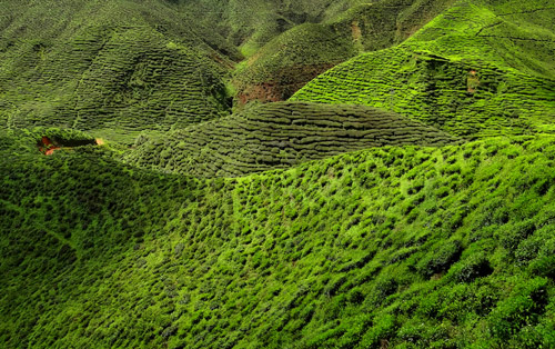 Cameron_Highland_Tea_Plantation_2012