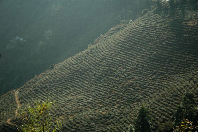 Darjeeling_Tea_Plantation_India