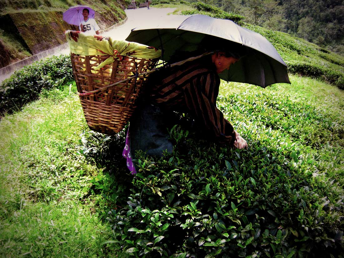 Plucking The Tea Leaves In The Traditional Fashion (by Anilbharadwaj125,  Wikipedia)