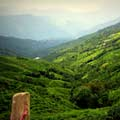 Tea plantations in