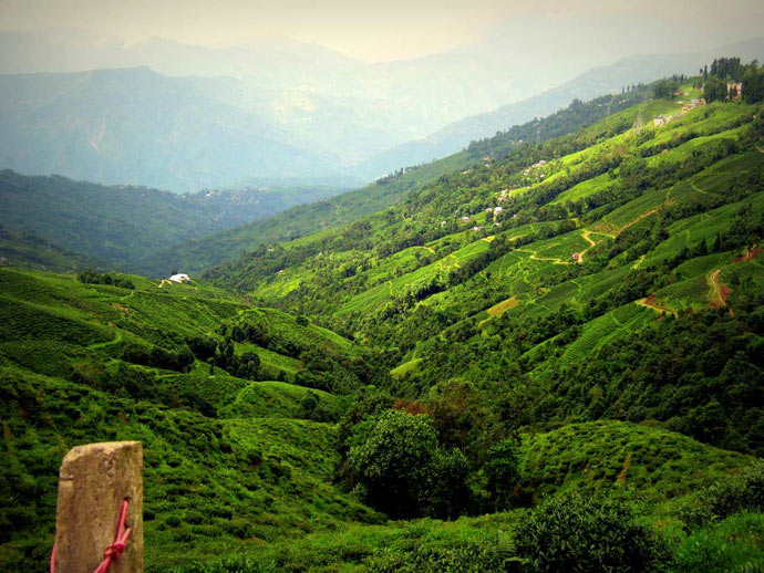 darjeeling_Teagardensvalley