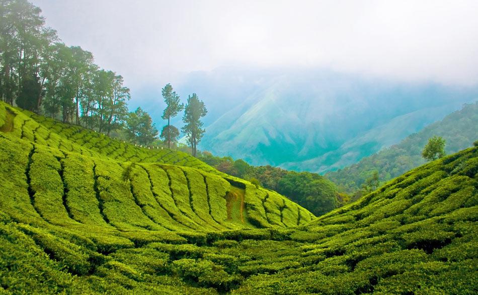 Good Morning Munnar - Photos - WeRateTea.com