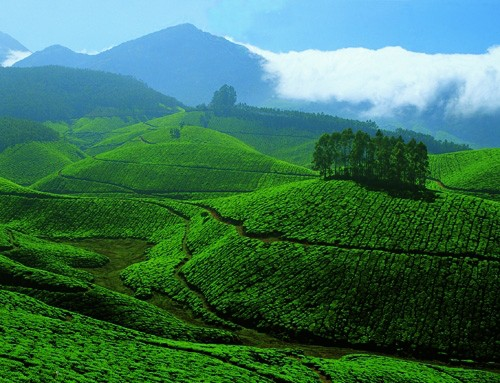 tea-gardens-at-devikulam-munnar