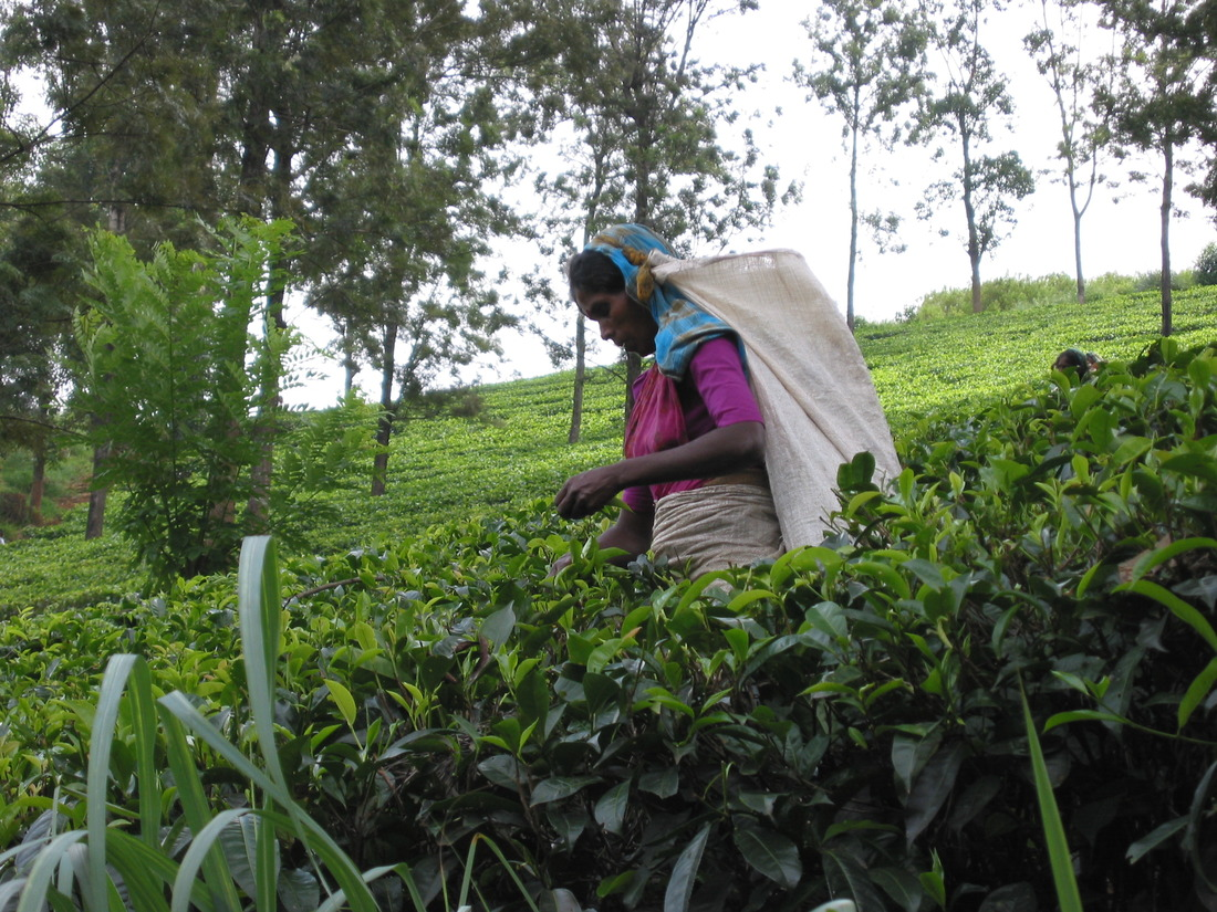 tea in sri lanka Sri lanka has become the producer of some of the world's finest teas, from single origins to mixed fruit blends here we look at some of the best tea tours.