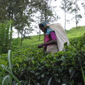 Tea picker of Sri
